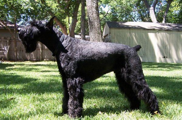 Собака породы шнауцер
