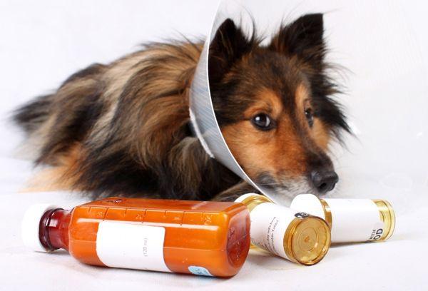 аллергия у белых собак