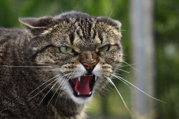 Кот загибает ухо что это