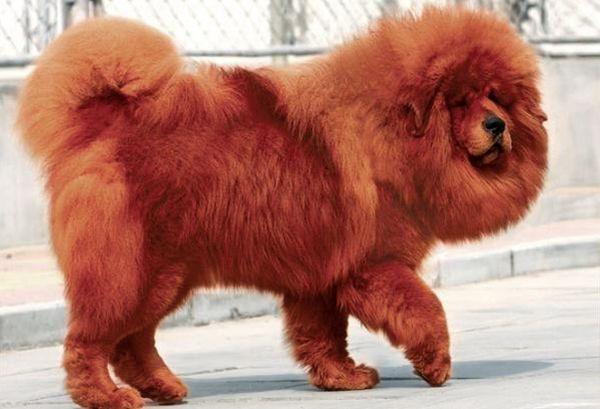 Серия сообщений. природа.  Тибетский мастиф является собакой ориентированной на человека, но он будет на смерть