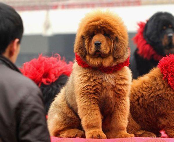 Красный Тибетский мастиф стал символом положения в обществе для богатых китайцев.  Это очень древняя и очень